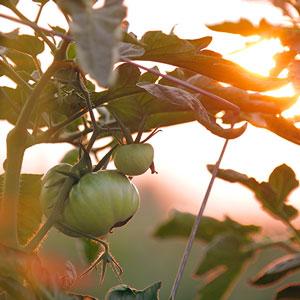 Gemüsegarten - Leistungen Vassiliou Gartenbau und Unterhalt